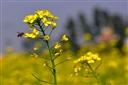 Mùa hoa cải phủ vàng quê lúa Thái Bình.